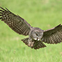 Great gray owl wingspan © Alan Murphy