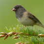 Junco © Greg Downing