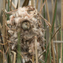 Marsh wren nest © Greg Downing