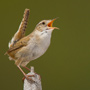 Marsh wren singing © Greg Downing