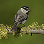 Mountain chickadee on branch © Greg Downing
