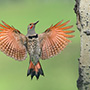 Northern flicker in flight © Alan Murphy