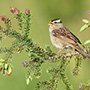 White-crowned sparrow © Alan Murphy