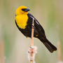 Yellow-headed blackbird © Alan Murphy