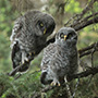 Great gray owl chicks © Greg Downing