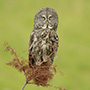 Great gray owl on branch © Greg Downing
