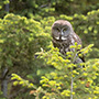 Great gray owl perched on bush © Greg Downing
