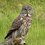 Great gray owl perched on stump © Greg Downing