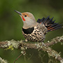 Northern flicker perched © Greg Downing