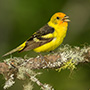 Western tanager © Greg Downing