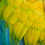 Colorful feathers © Tom Whelan