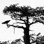 Osprey on cypress tree black and white Florida © Nikhil Bahl