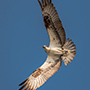 Osprey flight portrait © Nikhil Bahl