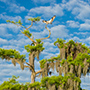 Osprey on top of cypress tree in Florida © Nikhil Bahl
