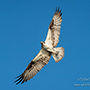 Osprey wingspan in flight with blue sky © Nikhil Bahl