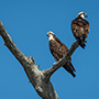 Pair of ospreys perched © Nikhil Bahl