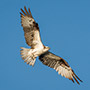 Florida osprey on blue sky © Nikhil Bahl