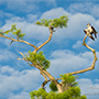 Osprey cypress tree profile © Nikhil Bahl