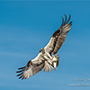 Osprey clutching fish in flight © Nikhil Bahl