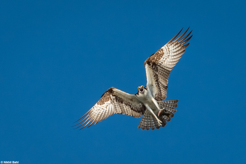 Osprey in flight and blue sky © Nikhil Bahl