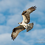Osprey flight portrait in clouds © Nikhil Bahl