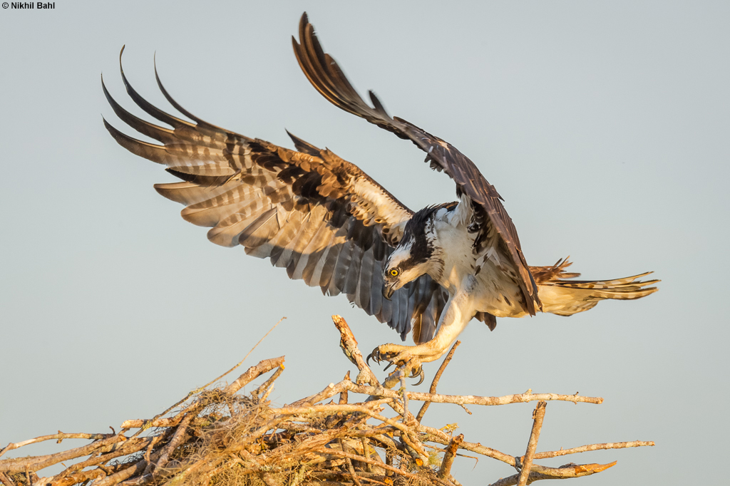 Osprey landing on nest © Nikhil Bahl