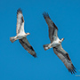 Osprey pair in flight © Nikhil Bahl