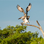 Osprey pair perched on branch © Nikhil Bahl