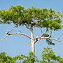 Osprey perched on cypress tree © Nikhil Bahl