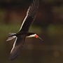 Black skimmer in the Pantanal © Greg Downing