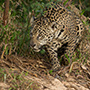 Brazil jaguar roaming © Greg Downing