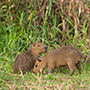 Capybara pair in grass © Greg Downing