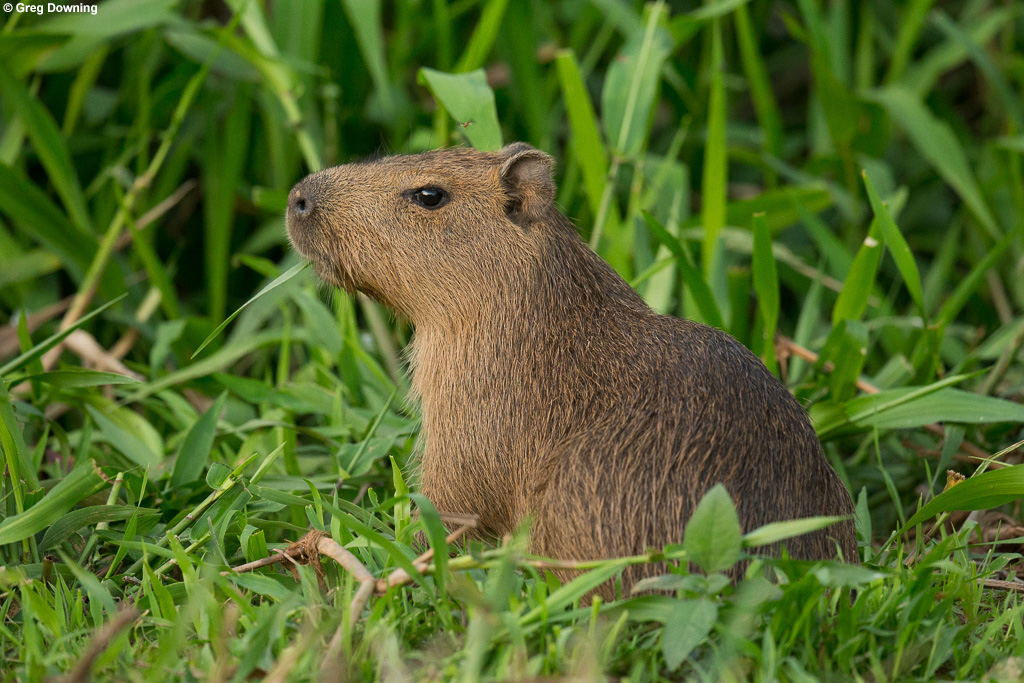 Capybara portrait © Greg Downing