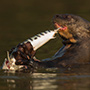 Giant otter with prey, Pantanal © Greg Downing