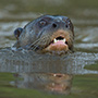 Giant otter © Greg Downing
