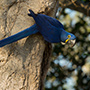 Hyacinth macaw in tree © Greg Downing