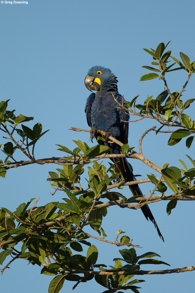 Hyacinth macaw © Greg Downing