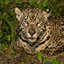 Jaguar Brazil portrait © Greg Downing