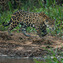Jaguar walking in Brazil © Greg Downing