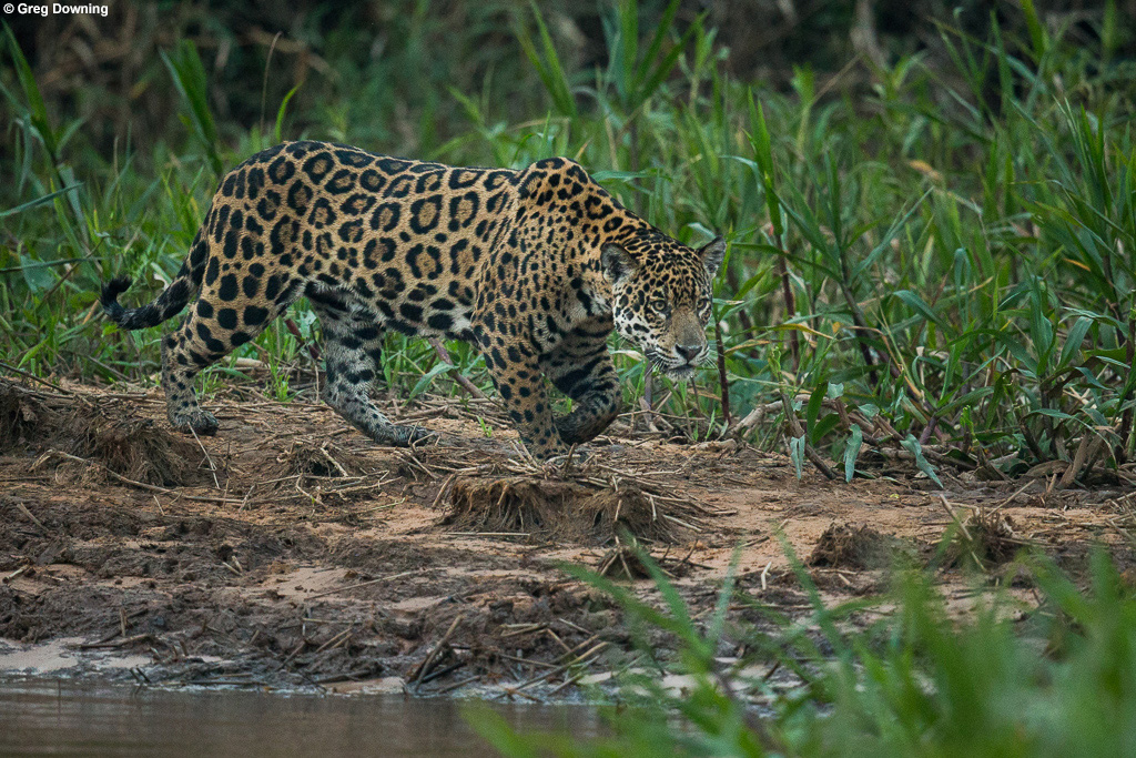 Jaguar walking, Brazil © Greg Downing