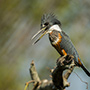 Kingfisher profile, Pantanal © Greg Downing