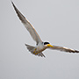 Large-billed tern in flight © Greg Downing