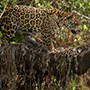 Jaguar climbing tree in the Pantanal © Greg Downing