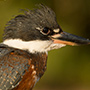 Ringed kingfisher © Greg Downing