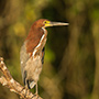 Rufescent tiger heron, Brazil © Greg Downing