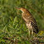 Rufescent tiger heron © Greg Downing