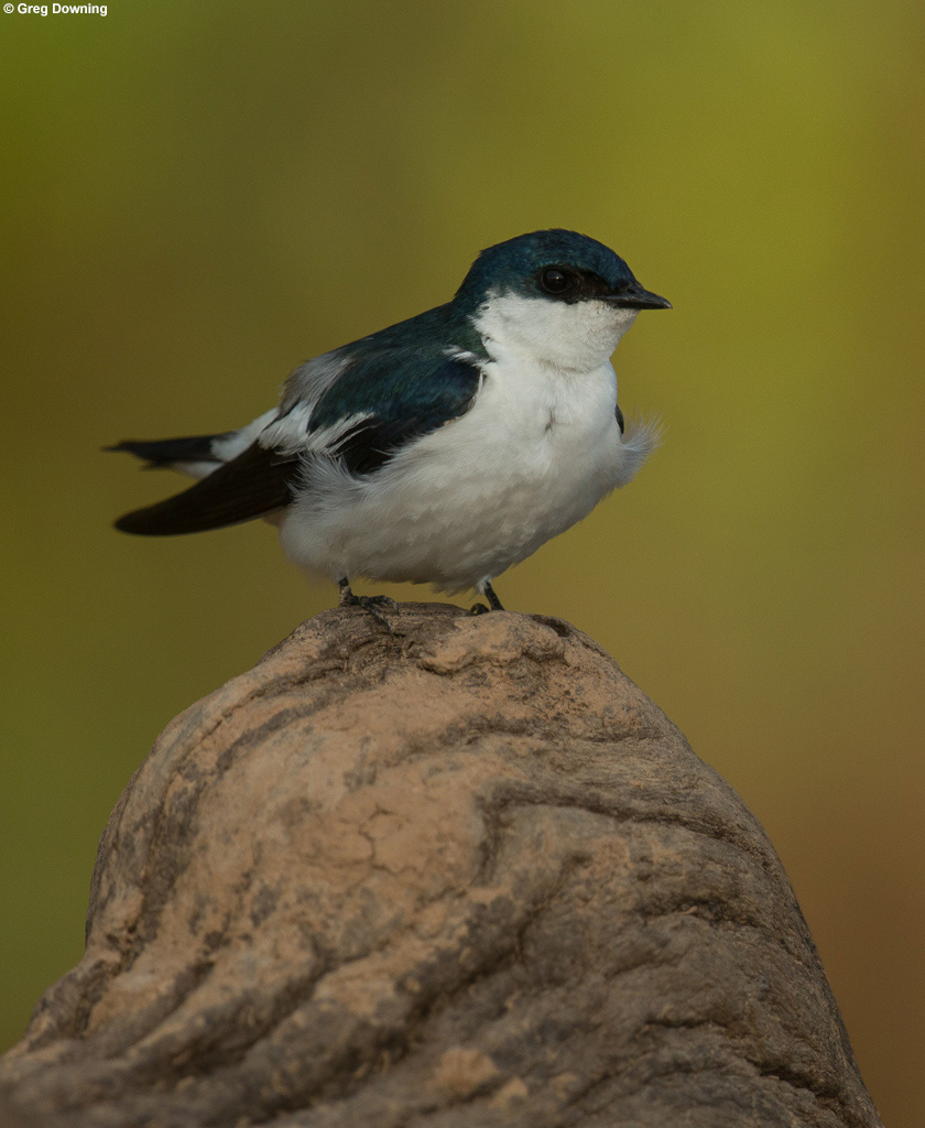 White-winged swallow © Greg Downing