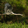 Cocoi heron in flight © Greg Downing