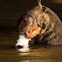 Giant otter in the wild, Pantanal © Greg Downing