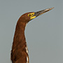 Rufescent tiger heron portrait © Greg Downing